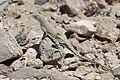 Desert Earless Lizard - Flickr - GregTheBusker.jpg