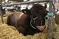 Devon Bull (3715888785).jpg