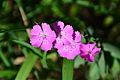 Dianthus collinus (8455749796).jpg