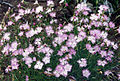 Dianthus monspessulanus 4 (Pyrenees).jpg