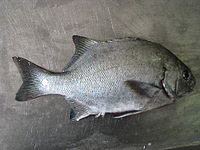 Dichistius capensis.JPG