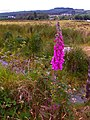 Digitalis near Meencargagh - geograph.org.uk - 868084.jpg