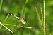 Diplacodes trivialis female at Kadavoor.jpg