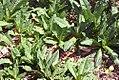 Dipsacus sativus 1zz.jpg