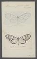 Dircenna - Print - Iconographia Zoologica - Special Collections University of Amsterdam - UBAINV0274 048 07 0002.tif