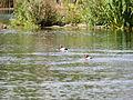 Distant ducks (pochards) (14357359526).jpg