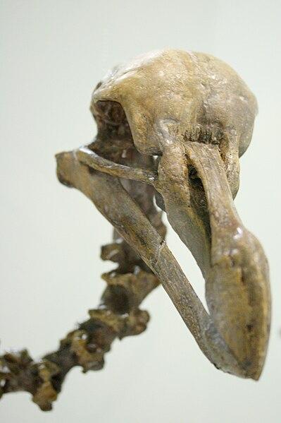 File:Dodo skeleton head.JPG