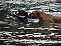 Dogs Play Fetch in the Water (2625848484).jpg