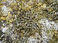 Dolia madrepore licheni.JPG