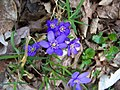 Dolní Břežany, Hradiště, modré květiny.jpg