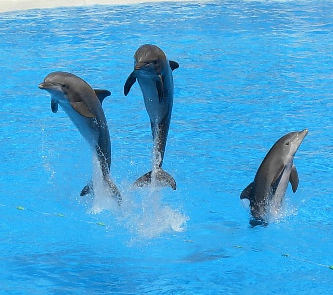 best dolphin pic, three dolphins playing, #dolphin