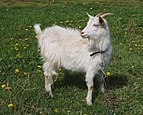 Domestic goat 2017 G2.jpg