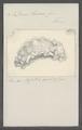 Doris lacera - - Print - Iconographia Zoologica - Special Collections University of Amsterdam - UBAINV0274 080 21 0019.tif