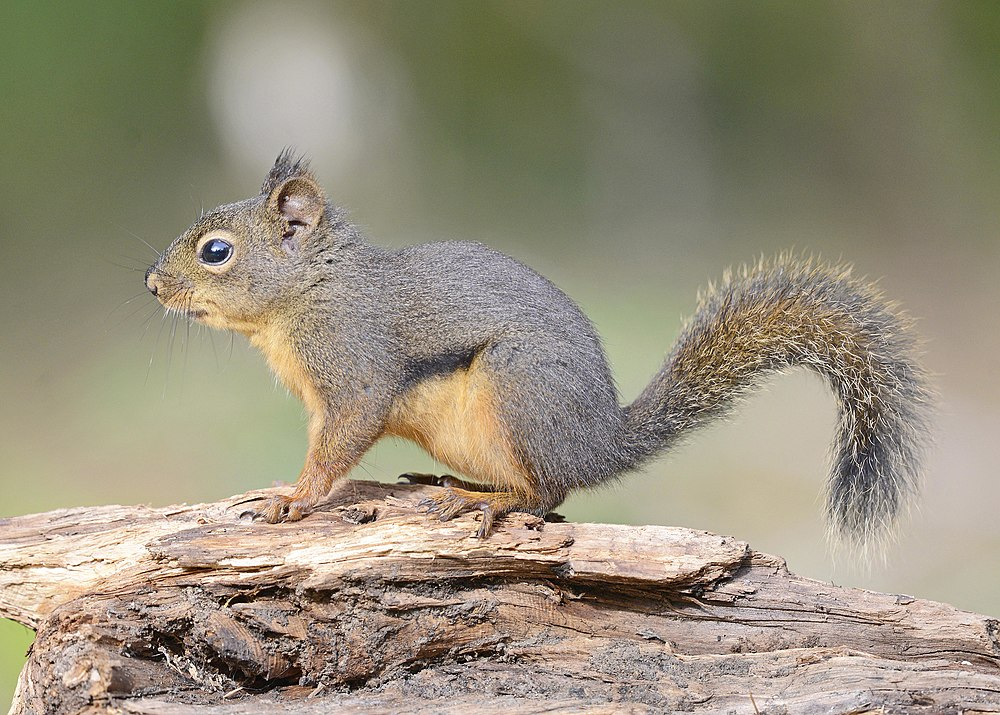 The average litter size of a Douglas squirrel is 5