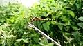 Dragonfly closeup-099.jpg