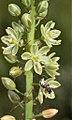 Drimia sp. (Hyacinthaceae) (4804898273).jpg