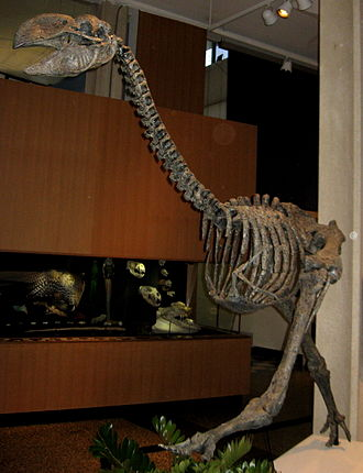 Gastornithiformes - Mounted skeletons of Gastornis giganteus (top photo) and Dromornis stirtoni (bottom photo)
