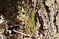 Droppings of siberian flying squirrel 2.jpg