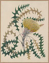 Dryandra lindleyana by Marrianne Collinson Campbell.jpg