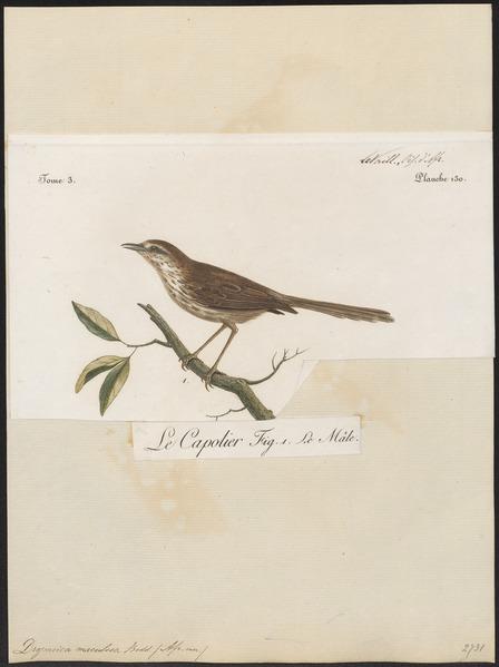File:Drymoica maculosa - 1796-1808 - Print - Iconographia Zoologica - Special Collections University of Amsterdam - UBA01 IZ16200021.tif