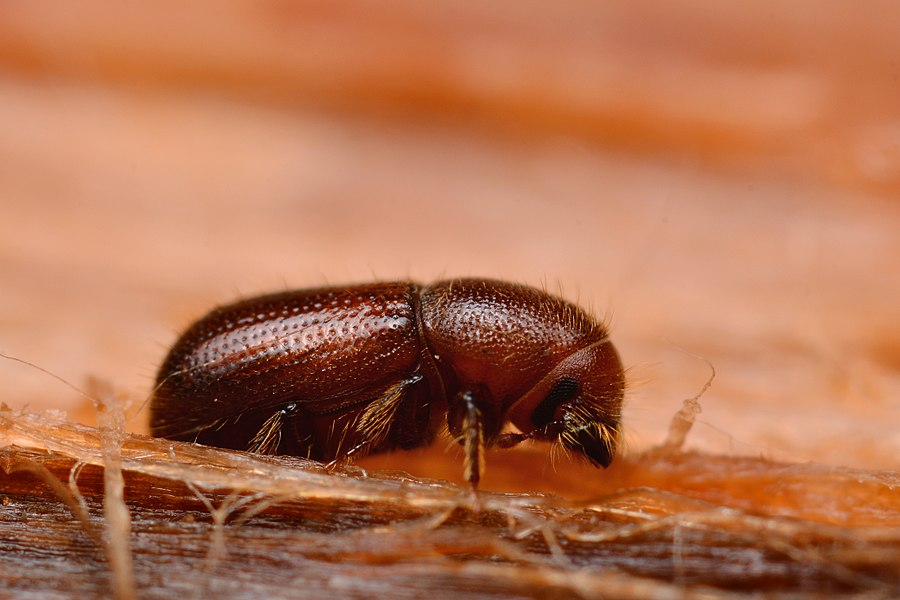 Dryocoetes autographus (Coleoptera - Curculionidae - Scolytinae)