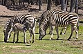 Dubbo ZOO Zebras-1and (3998329153).jpg