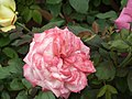 Dwarf Rose from Lalbagh flower show Aug 2013 8495.JPG