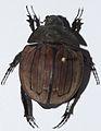 Dynastid Beetle (Hexodon patella) (8436621214).jpg