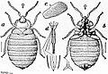 EB1911 Hemiptera - Fig. 8.—Bed-bug (Cimex lectularius).jpg