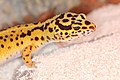 EUBLEPHARIS-MACULARIUS Leopard-Gecko Leopardgecko 201705276007.jpg