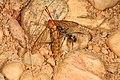 Eastern Black Carpenter Ant - Camponotus pennsylvanicus with Crane Fly, Meadowood Farm SRMA, Mason Neck, Virginia (37466247174).jpg