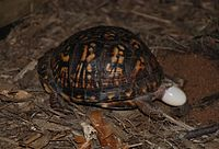 Three images of eastern box turtles laying eggs