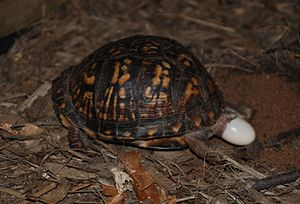 Box turtle - T. c. carolina laying eggs