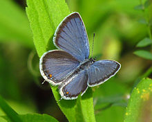 Eastern Tailed-blue.jpg
