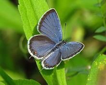 Eastern Tailed-blue.jpg