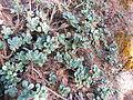 Echeveria aff. montana (5739621705).jpg