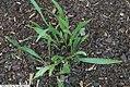 Echinacea paradoxa 5zz.jpg