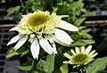 Echinacea purpurea Coconut Lime 1zz.jpg