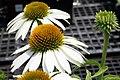 Echinacea purpurea Cygnet White 7zz.jpg