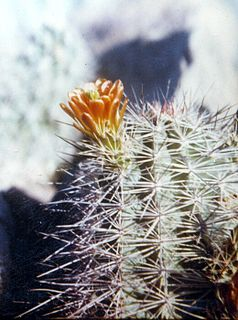 <i>Echinocereus × neomexicanus</i> species of plant