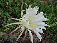 Echinopsis thelegona1MTFL