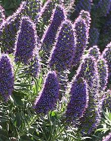 epis de viperine en fleurs bleues
