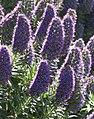 Echium candicans1311.jpg