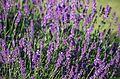 Echter Lavendel (Lavandula angustifolia) (9480872504).jpg
