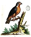 Edwards 1750 little black and orange coloured Indian hawk cropped.jpg