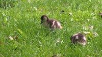 File:Egyptian geese (Alopochen aegyptiacus) in a park.webm
