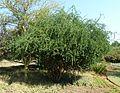 Ehretia rigida, habitus, Pretoria NBT.jpg