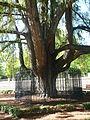 El árbol más antiguo del Parque del Retiro, en Madrid, ´fue plantado en 1630.jpg