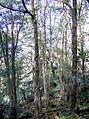 Elaeocarpus holopetalus Mt Imlay.jpg