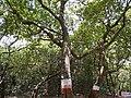 Elaeocarpus oblongus Gaertn. (5779674439).jpg